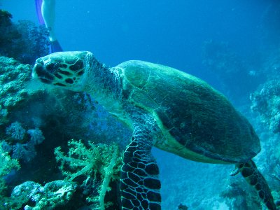 Turtle - as seen on a regular basis during dives in the Red Sea