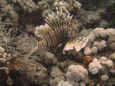 The beautiful Lion Fish - so graceful & best left alone