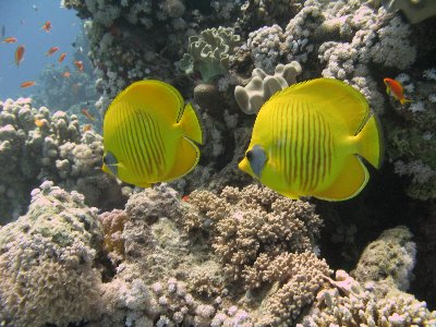 Two Masked Butterfly Fish just underneath the surface in Sharks Bay